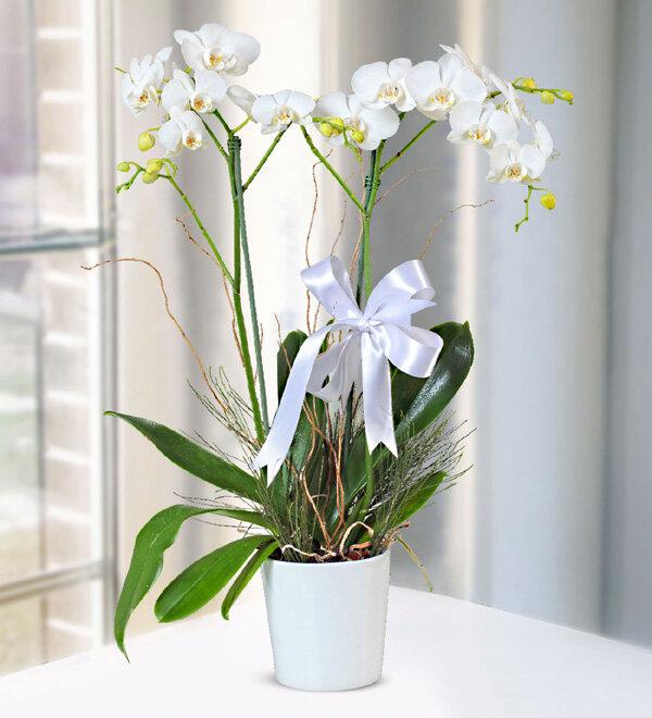 çift dallý beyaz orkide