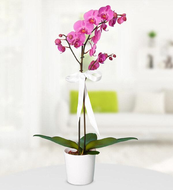 tek dallý mor orkide