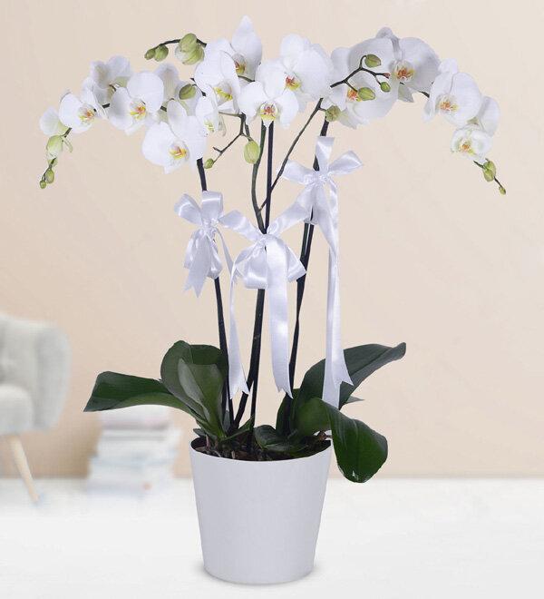 saksýda 3 lü orkide