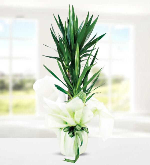 yucca dracena 2 köklü