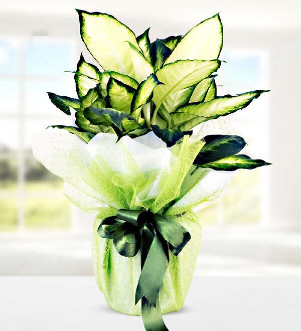 camila saksý çiçegi