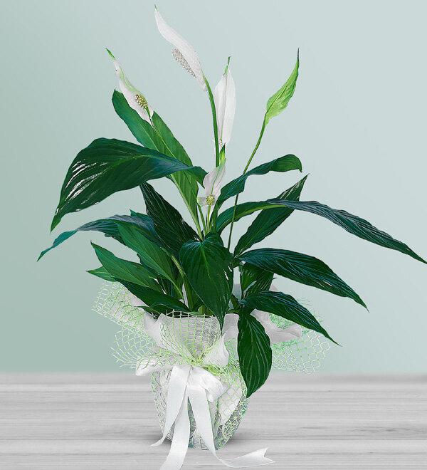 beyaz güzellik saksý çiçegi