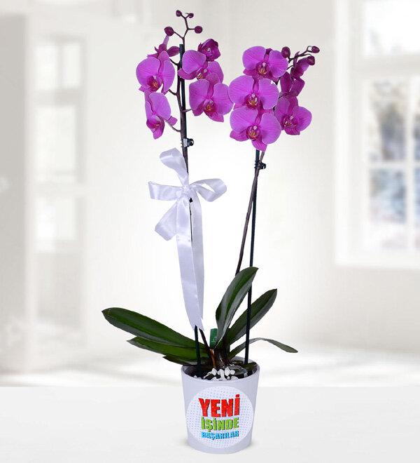 asil mor orkide